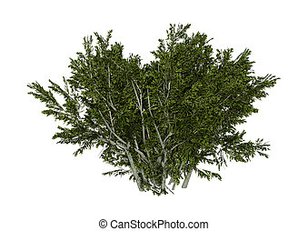 3D Rendering Creosote Bush on White - 3D rendering of a...