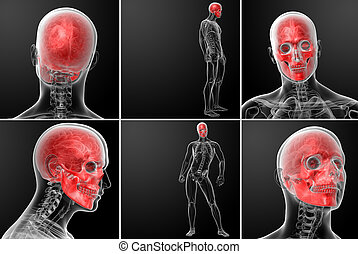 3d rendering human skull anatomy