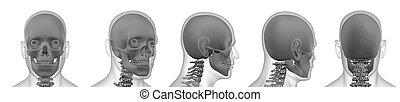 3d rendering illustration of skull bone