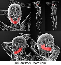 3D rendering illustration of the  jaw bone