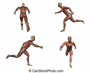 3d rendering illustration of the muscular system