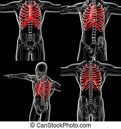 3D rendering illustration of the  rib cage