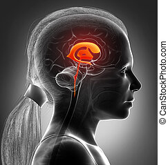 3d rendering medical illustration of a girl Brain Ventricles anatomy