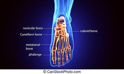 3d rendering medical illustration of the feet bone