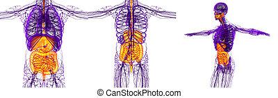 3d rendering medical illustration of the human digestive system