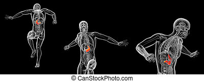 3d rendering medical illustration of the human stomach
