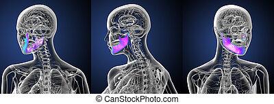 3d rendering medical illustration of the jaw bone