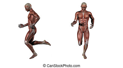 3d rendering medical illustration of the muscle