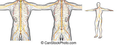 3D rendering medical illustration of the nerve system