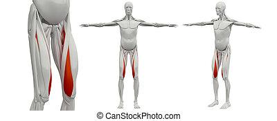 3d rendering  medical illustration of the vastus medialis