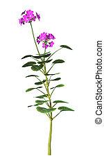 3D Rendering Purple Geranium Flowers on White