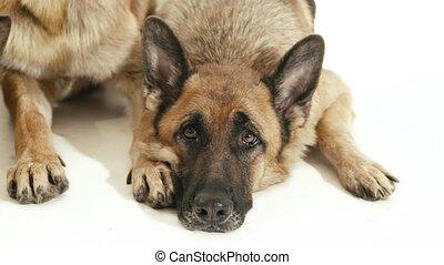 3of14 alsatian dogs in studio, pets