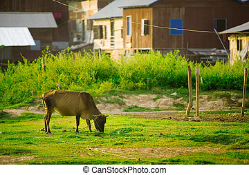 Cow grazing on grass in Asian village