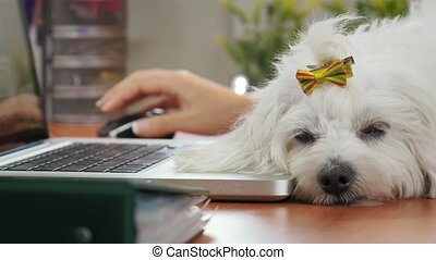 4-Business Woman Typing PC In Office With Dog Sleeping -...