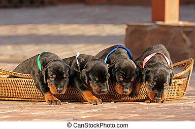 4, dobermann, hundebabys, in, korb