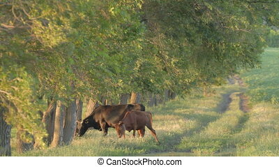 4 IN 1 EDIT Cow and calf grazing ne - 4 IN 1 EDIT Big black...