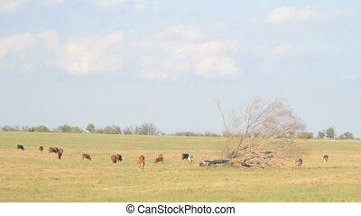 4 IN 1 EDIT Pasture with grazing cows - 4 IN 1 EDIT Herd of...