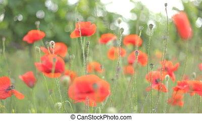 4 IN 1 EDIT Red poppies in various