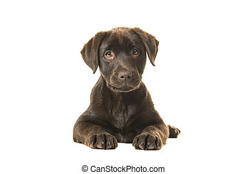 4 months old brown labrador retriever puppy lying down seen from the front, with its paws in front of her and looking straight at the camera isolated on a white background