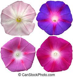 4, petunia, bloemen, verzameling, vrijstaand, op, witte achtergrond