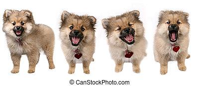 4, posen, von, a, reizend, pomeranian, junger hund