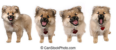 4 Poses of a Cute Pomeranian Puppy - High Resolution Image...