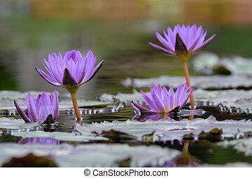 4 purple water lilies