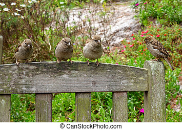 4 sparrows on a park seat looking for food.