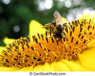 4, tournesol, abeille