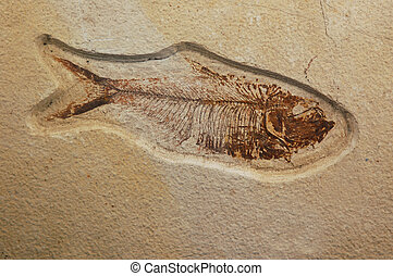 47 million years old (Eocene Epoch) Dyplomystus herring fossil from the Green River formation in southwest Wyoming