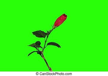 4k., гибискус, цветок, красный, blooming