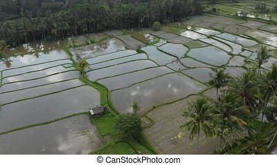 4K aerial drone footage of rice fields with tropical trees and coconut palms. Bali island, Ubud.