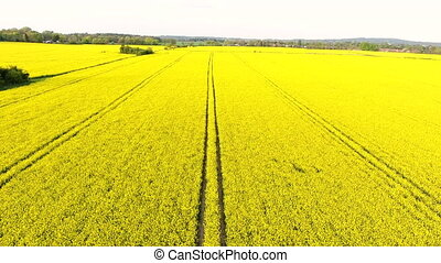 4K aerial drone video clip flying across field of oil seed rape or rapeseed yellow flowers in the countryside
