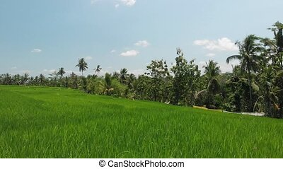 4K aerial flying video of green grass background and coconut...