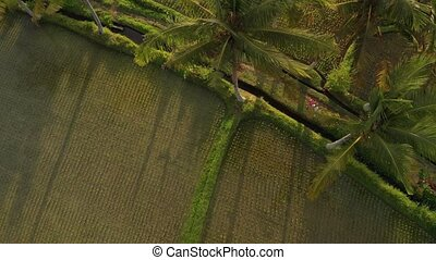 4K aerial view flying video of young honeymoon couple with small dog in the jungle of Bali island, rice fields. Tropical vacation in Indonesia concept.