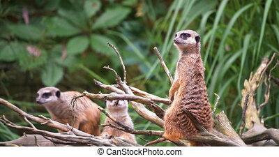 4K - African meerkats look around surroundings
