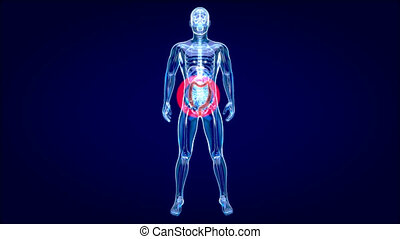 4K Anatomy concept of the Gut
