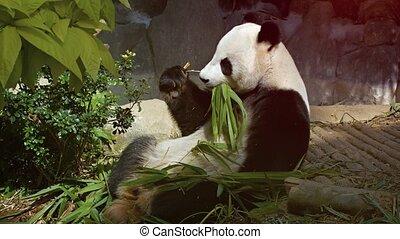 4k, bambou, paws., manger, panda, vidéo, sien, adulte