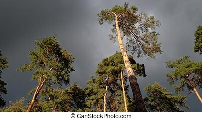 4k beautiful video of high pine tree swaying under strong...