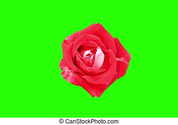4K. Blooming red roses flower buds green screen, Ultra HD....