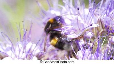 4K - Bumblebee foraging flower nectar. Close-up