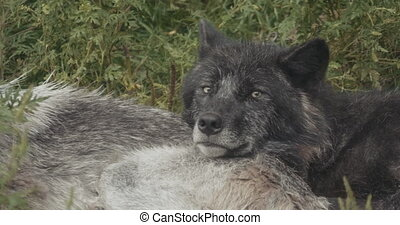 4K Cinematic Pack of Wolves. Shot at a wildlife reserve on...