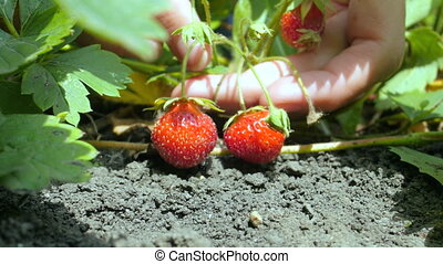 4k close up of young woman hands picking strawberry in field.