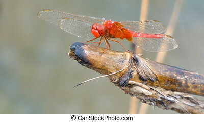 4K Close up shot dragonfly in nature place of tropical Asia...