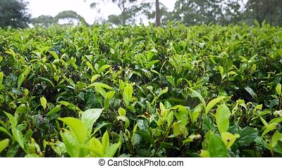 4k closeup dolly video of wet leaves on tea bushes after ...
