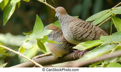 4K Couple bird dove on the natural tree