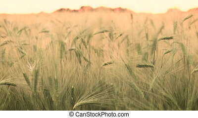 Desaturated slow shutter speed clip of wheat or barley field...