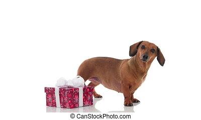 4K - Dog checks a gift box