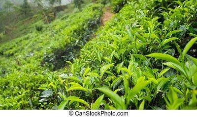 4k dolly footage of raining at highland tea plantation in ...