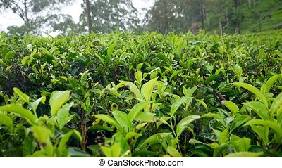 4k dolly video of rain at highland tea plantation on ...